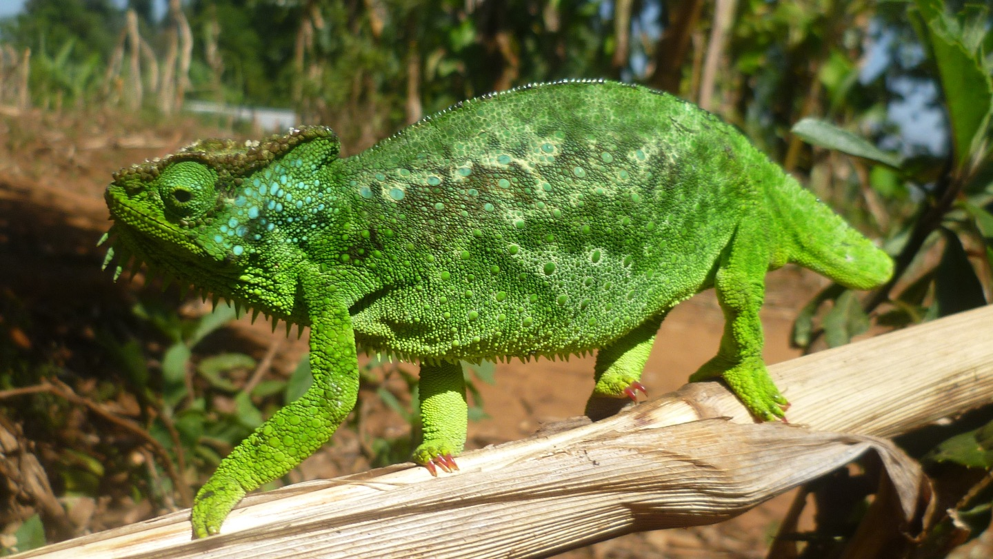 Photo of chameleon.